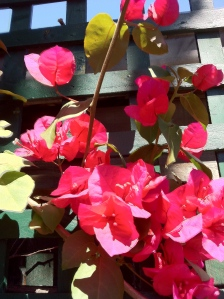 Blossoming Bougainvillea in a garden